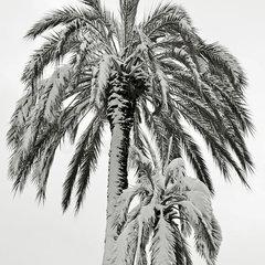 Winterharde palmen