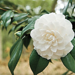 Camellia (Japanse Roos)