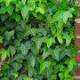 Niet-bloeiende-tuinplanten