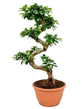 Ficus Microcarpa Compacta Bestellen 75 Cm Bonsai Boom Home Meets Nature