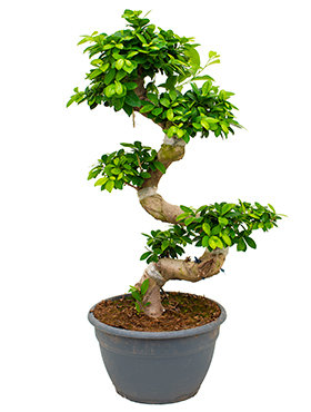 Ficus Microcarpa Compacta Bestellen 110 Cm Bonsai Boom Home Meets Nature