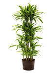 Dracaena lemon Lime Carrousel