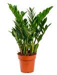 Zamioculcas zamiifolia 6/tray - Toef