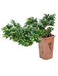 Ficus microcarpa compacta - Cascade