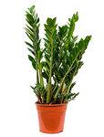 Zamioculcas zamiifolia - Toef
