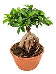 Ficus microcarpa ginseng - -
