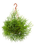 Rhipsalis heteroclada - Bush
