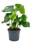 Philodendron pertusem (monstera) - Toef