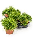 Rhipsalis heteroclada 4/tray - -