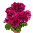 Franse-Geranium-violet