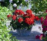 Geranium-staand-rood