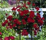 Hanggeranium-dubbelbloemig-rood