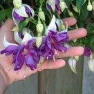 Fuchsia-Blue-Angel