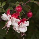 Fuchsia-Swingtime