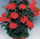 Geranium-Antik-rood