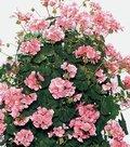 Geranium-Antik-roze