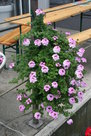 Verbena-roze