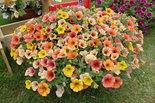 Petunia-Indian-Summer