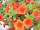 Mini-Petunia-Calibrachoa-Sunrise