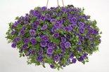 Mini-Petunia-Calibrachoa-Royal-Blue