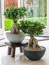 Ficus-Ginseng-Bonsai-in-Luxe-Fiona-bowl-pot