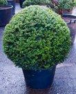 Taxus-Baccata-Bol-tuinplant
