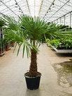 Trachycarpus-Fortunei-210-cm