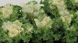 Sierkool-Brassica-gekruld-wit