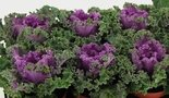 Sierkool-Brassica-gekruld-rood