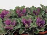 Sierkool-Brassica-glad-rood
