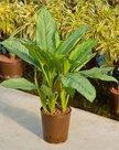 Aglaonema-Freedman-(Hydroplant)