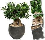Ficus-Ginseng-Bonsai-45-cm-in-pot-Kevan