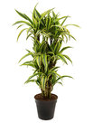 Dracaena-Lemon-Lime
