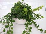 Hedera-groen-(3-planten)-in-schaal-Gracka-pure-white