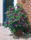 Tibouchina-paars-violet