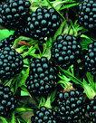 Rubus-Thornless-zwarte-braam
