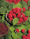 Rubus-Tayberry-Frambraam