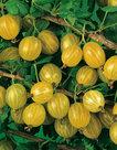 Ribes-Uva-Crispa-kruisbes
