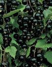 Ribes-Nigrum-zwarte-bes