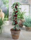 Prunus-avium-Sylvia