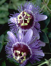 Passiflora-Purple-Haze-(Wit-paars)