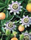 Passiflora-Edulis-Frederick-(Wit-Paars)