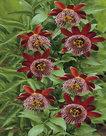 Passiflora-Alata-(Rood-Paars)