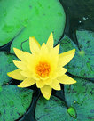 Nymphaea-Marliacea-(Gele-waterlelie)