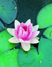 Nymphaea-Fabiola-(Roze-waterlelie)