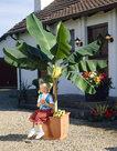 Musa-Basjoo-(Bananenplant)