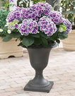 Hydrangea-bicolor-Tivoli-(Hortensia)