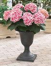 Hydrangea-bicolor-Camilla-(Hortensia)
