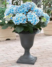 Hydrangea-bicolor-Bavaria-(Hortensia)