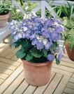 Hortensia-Teller-blauw